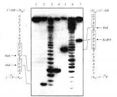 Определение нуклеотидов олигонуклеотидного дуплекса, являющихся мишенью FatI