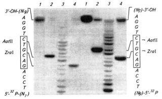 Определение нуклеотидов, между которыми ZraI гидролизует узнаваемую последовательность в олигонуклеотидном дуплексе