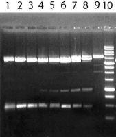 Активность фермента PkrI на ДНК pFsp4HI2/DriI. Электрофорез в 1% агарозном геле