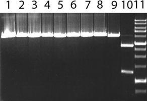Гидролиз MteI субстратных ДНК, содержащих ген метилазы M.Fsp4H